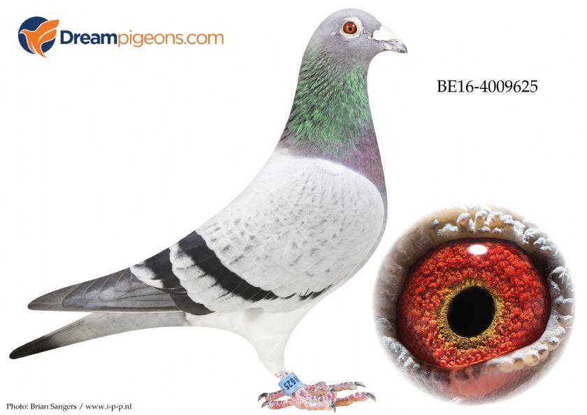 BE16-4009625 Cock Top Pigeon