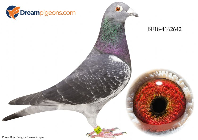 BE18-4162642 Cock Bloodline Cor  Meirlaen