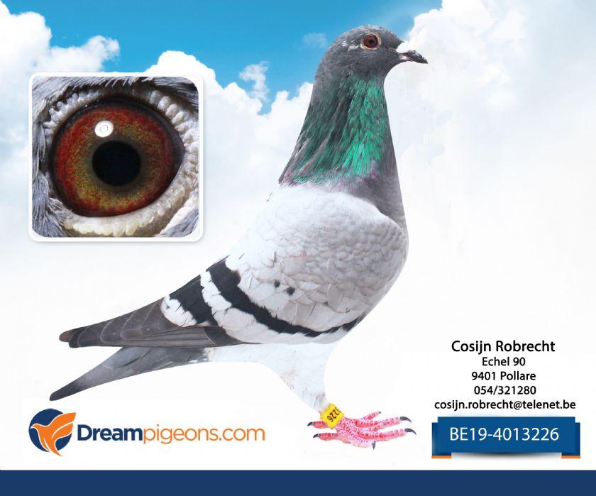 BE19-4013226 Hen Bloodline Morgan Mother 2 X 1 Nat Ace-Pigeon KBDB