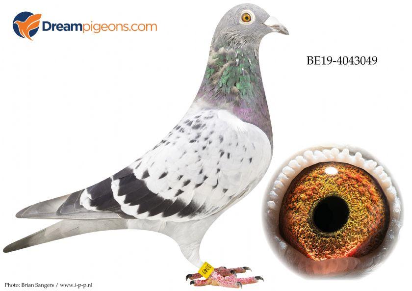 BE19-4043049 Hen Bloodline Vandenabeele x Hebberecht