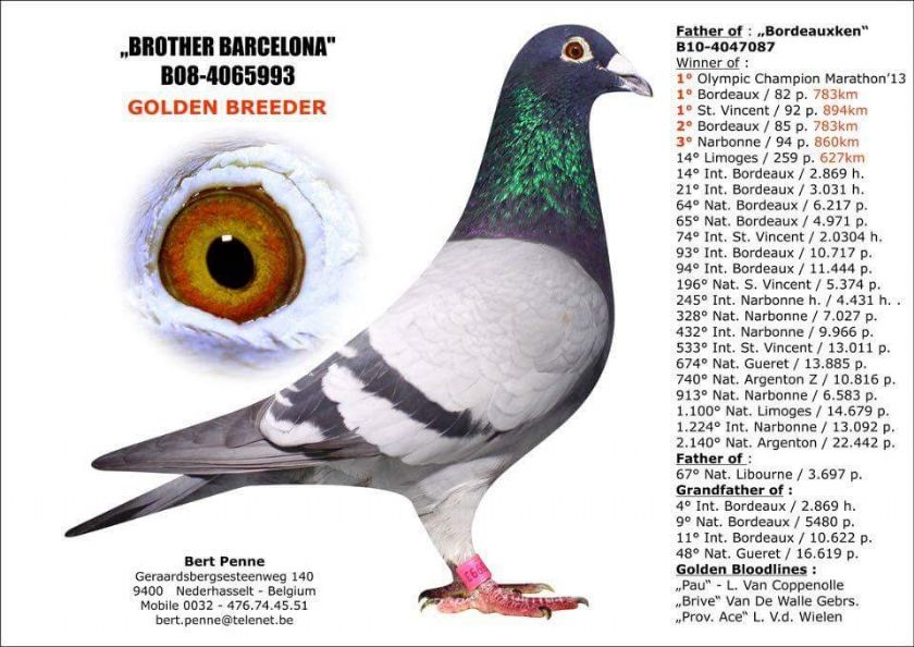 Extra info (1) BE19-4073926 Hen Bloodline Bordeauxken x Jo Ronsijn