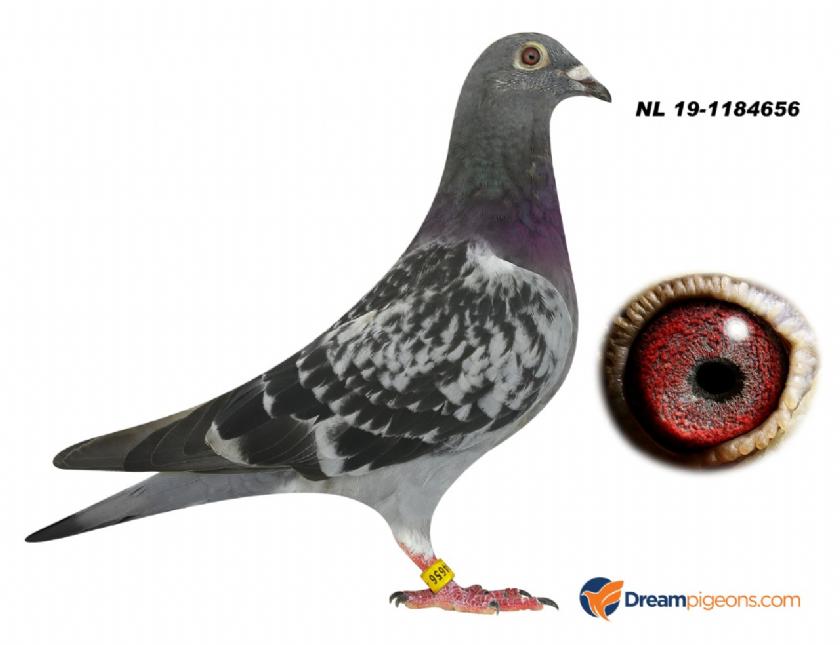 NL19-1184656 HEN BLOODLINE 1 PROV SENS 9520