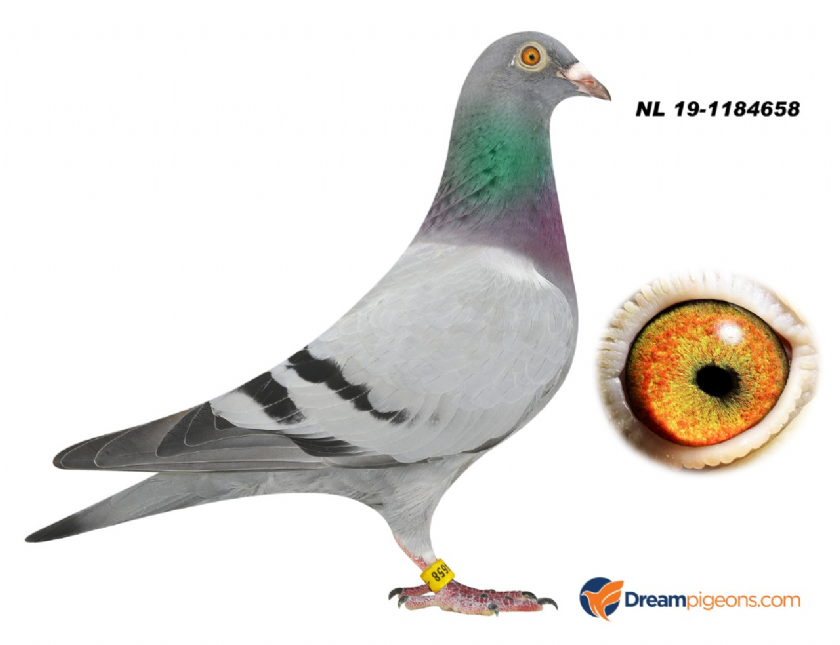NL19-1184658 HEN INBREED KITTEL X 1 NAT MONTLUCON