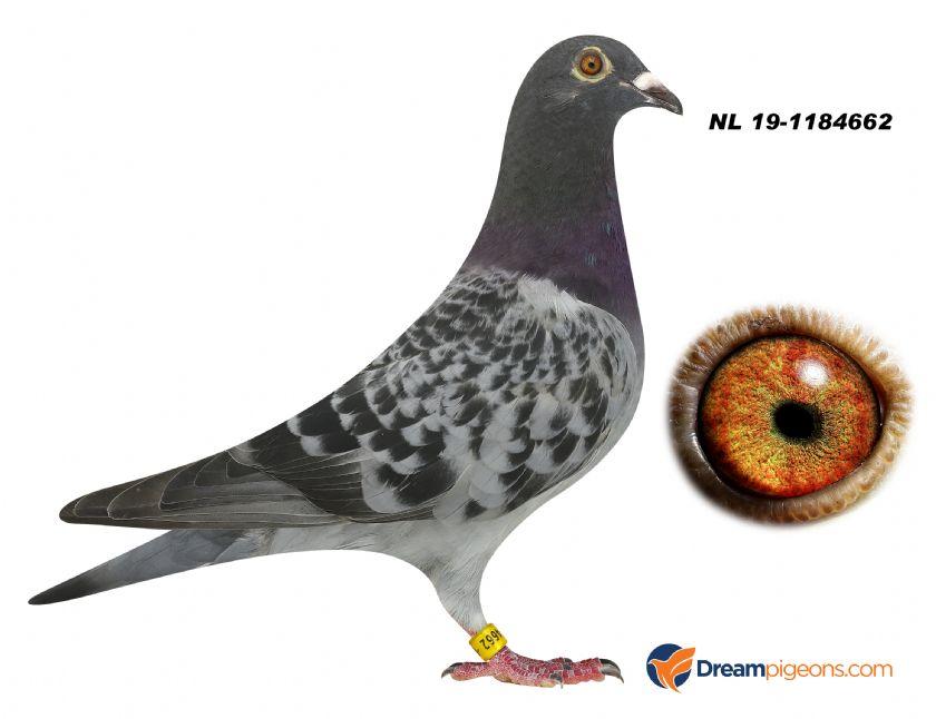 NL19-1184662 HEN BLOODLINE OLYMPIC MAGICIAN X KITTEL