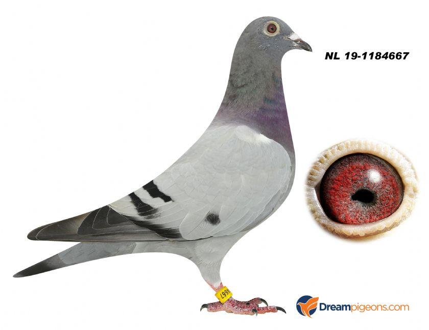 NL19-1184667 HEN BLOODLINE LEO HEREMANS X KOOPMAN