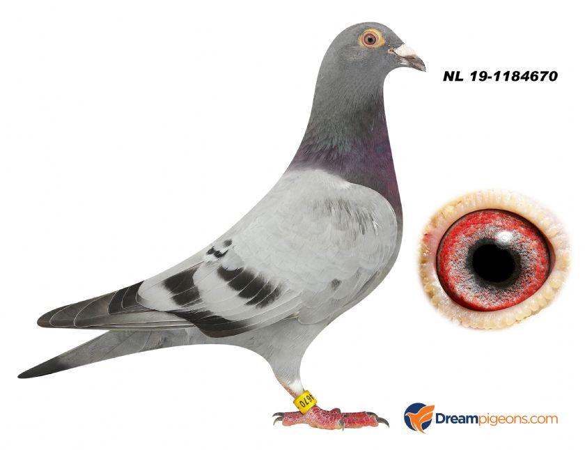 NL19-1184670 COCK BLOODLINE KITTEL VAN DEN BULCK