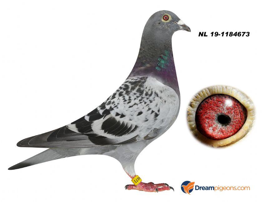 NL19-1184673 COCK BLOODLINE LEO HEREMANS BOLT X GILBERT