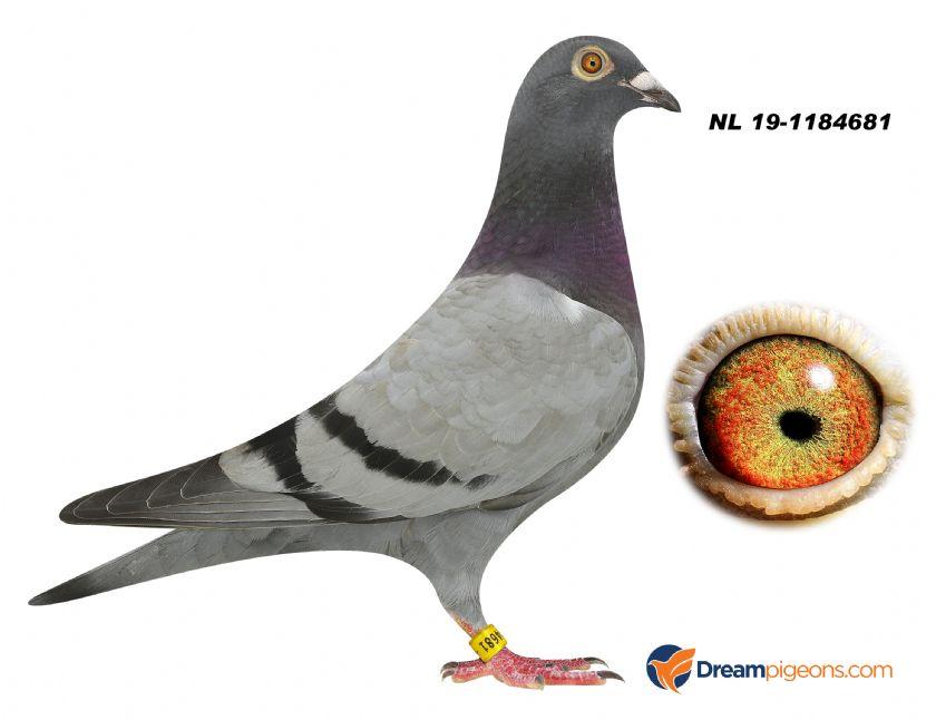 NL19-1184681 HEN BLOODLINE SUPER 481 KAASBOER JOZEF GOOVAERTS