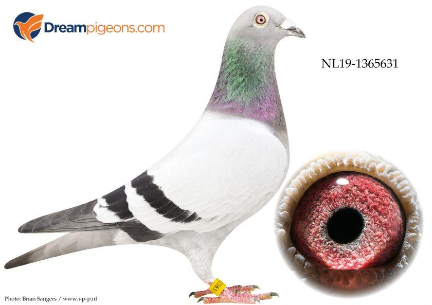 NL19-1365631 Daughter 1ste Nat. Ace-Pig MLD PIPA x 7e Nat Ace-Pig MLD PIPA