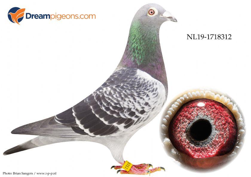 NL19-1718312 Cock Bloodline Arjan Beens x Steketee